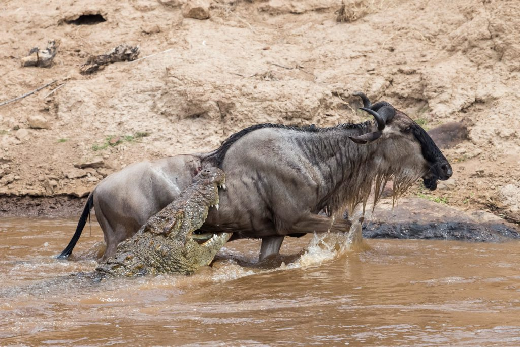 Fun-facts-about-the-wildebeest-migration-in-Kenya